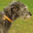 L'adorable Irishwolfhound LORD et son beau collier !